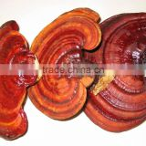 Reishi Mushroom Extract Plant Extract Powder Polysaccharide 30% &Triterpene 20% supply