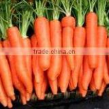 Chinese bulk fresh carrots