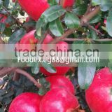 Fresh Pomegarantes from Egypt, High quality