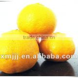 new harvested yongchun fresh mandarin orange