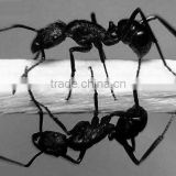 pure natural black ants Extract ratio extract powder