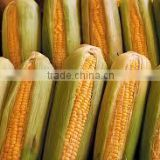 Exporters Of Yellow Maize