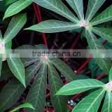 Cassava Leaf Grade A with cheap price from Vietnam