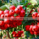 Hawthorn Fruit Extract/Hawthorn Berry/Leaf Extract with Flavones 5%-90%