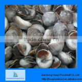 Fresh frozen boiled moon snail