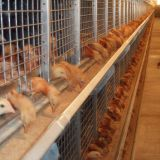 Uruguay Poultry Farming - Chicken Raising Equipment Battery Broiler Cage & Meat Chicken Cage & Chicken Coop