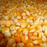 Yellow Maize / Corn