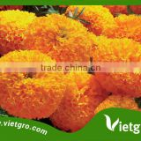 High Yield F1 Hybrid Marigold Seeds VGMG 300.04