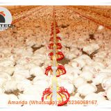 Ecuador Poultry Farm Equipment Broiler Floor Raising System & Chicken Deep Litter System with Automatic Drinking& Feeding System in Chicken Shed