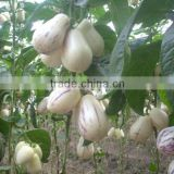 Inquiry about Hybrid F1 Solanum muricatum Pepino Cucumber Seeds For Planting