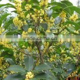 Sweet osmanthus Sweet olive Tea olive Fragrant olive seeds for growing beautiful flower trees