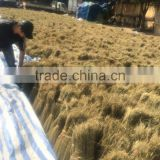 Grass broom raw material
