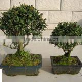 ilex chinensis Sims bonsai ball shape