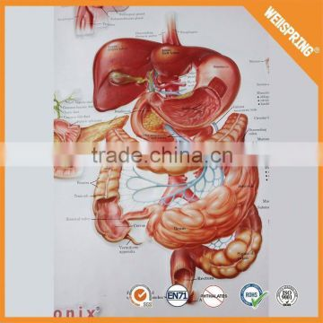 Top sale body none-toxic anatomy wall poster