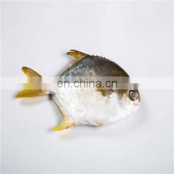 Frozen Golden Pomfret W/R