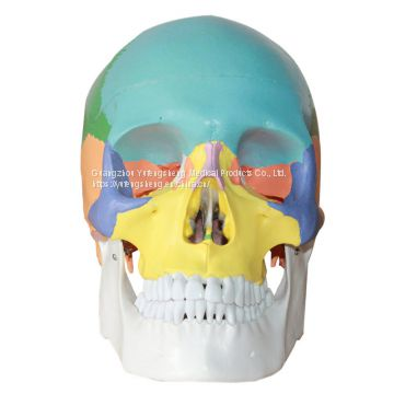 Highly-simulated medical human body color skull model natural large skull anatomical Head model removable