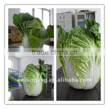 SUPPLY 2011 FRESH CHINESE CABBAGE (GOOD QUALITY)