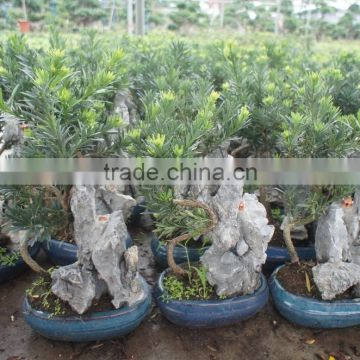 Stone Bonsai Podocarpus Macrophyllus for Decoration