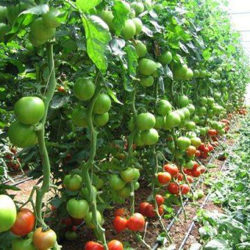 Single-/Multi-Span Plastic Film Greenhouse for Africa Vegetable Planting