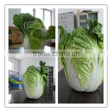 export standard long cabbage