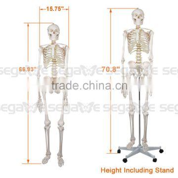 Life Size Anatomical Anatomy Human Skeleton Mode Medical