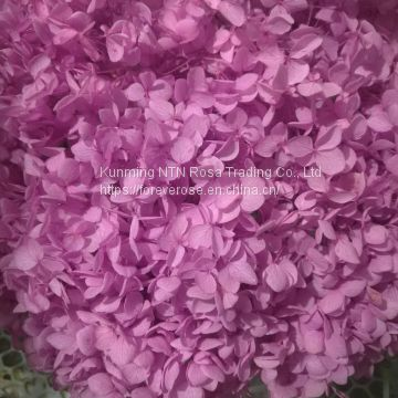 Wholesale Hydrangea Flowers at Best Price with High Quality
