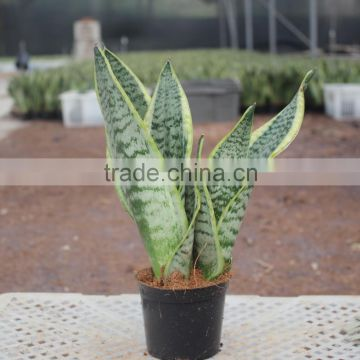 Sansevieria plant for bedroom decoration indoor plants of