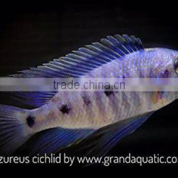 Malawi cichlid fish farm and exporter of Aquarium fish from China