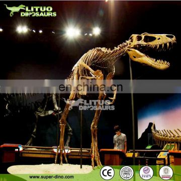 Museum Exhibit Natural Size Dinos Skeleton