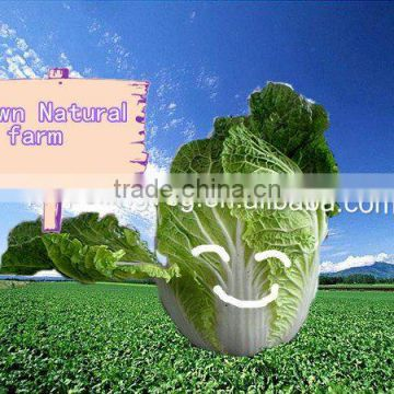 2011 fresh green chinese cabbage