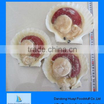 Best fresh new landing frozen scallop