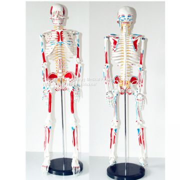 Medical Standard Human Skeleton Model 85CM with Nerve Human Skeleton Model Whole Body Coloring