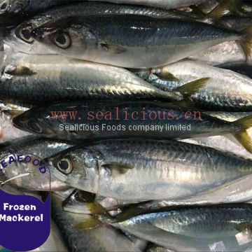 Best Price for Material of Canning Fish,Tin Fish,Canned Mackerel Pacific Mackerel