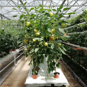 Efficient Greenhouse for Tomato/Pepper Hydroponic Planting