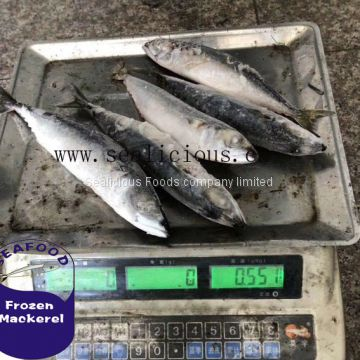 Scomber Japonicus Frozen Pacific Mackerel 200-300g,China Origin Frozen Mackerel Fish