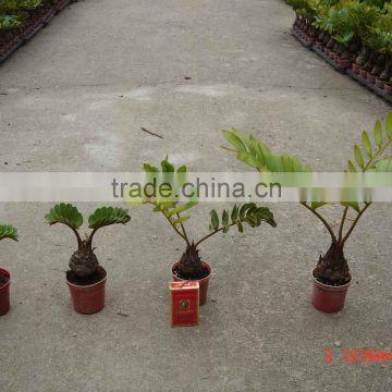 Potted indoor mini bonsai zamia furfuracea bonsai of for Planta ornamental zamia
