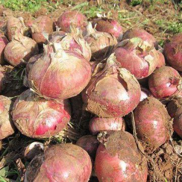 wholesale new fresh red onion with good price