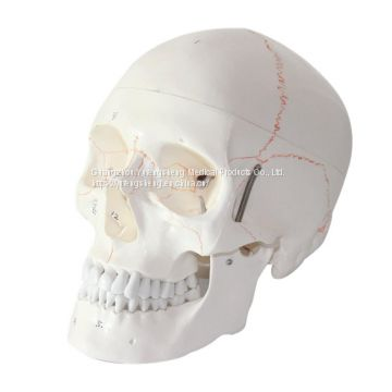 Wholesale High-fidelity Human Skull Model with Digital Identification with Bone Suture Detachable Skull Anatomy Model