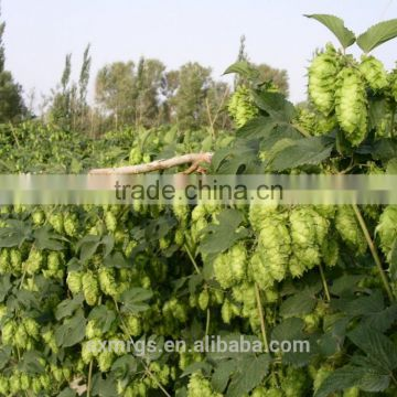 Water-soluble flavone 5% for beer hops extract,beer hop extract powder